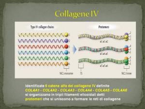 collagene IV