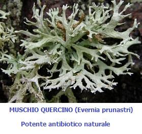 Muschio Quercino